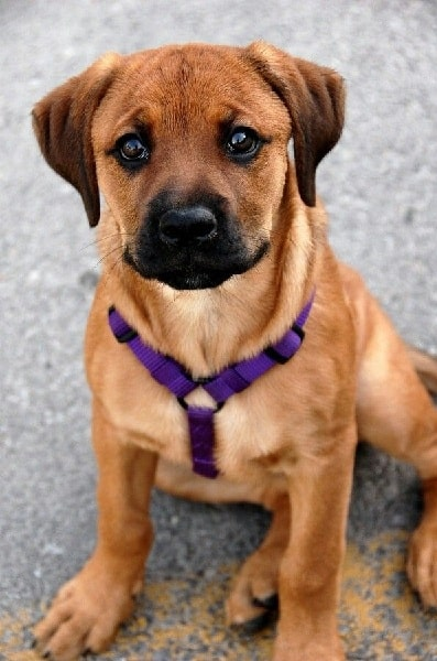 Boxweiler puppy