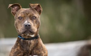 about Brindle Pitbull