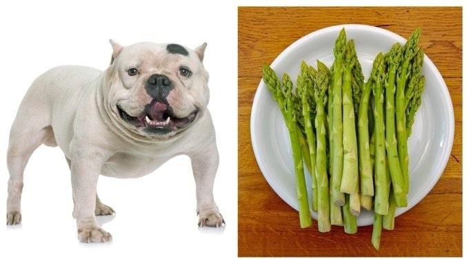Bulldog and Asparagus
