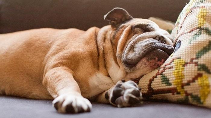 Bulldog sleeping peacefully
