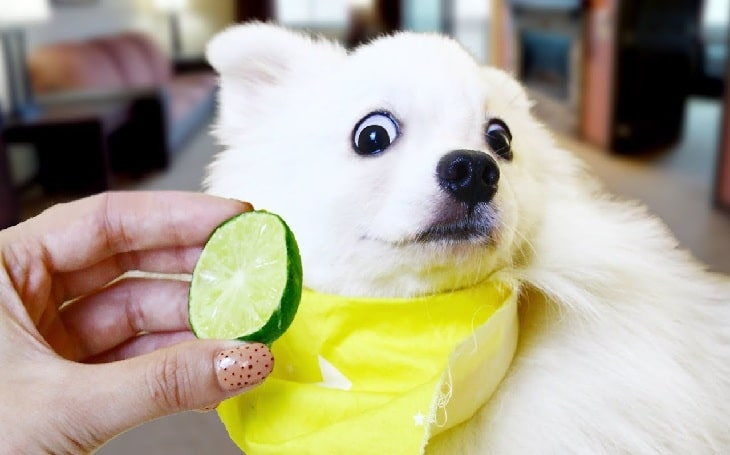 Can dogs eat lime?