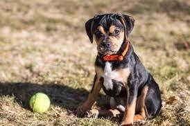 Carlin Pinscher puppy