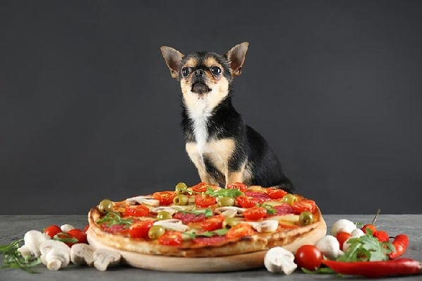 Chihuahua ready to eat pizza ful of olives