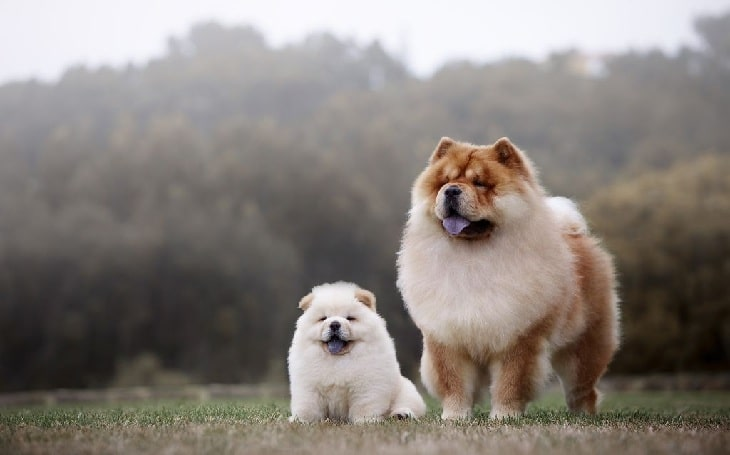 Chow Chow history, health