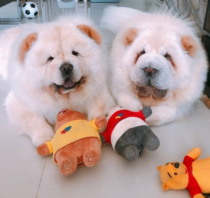 Chow Chow dogs playing with toys