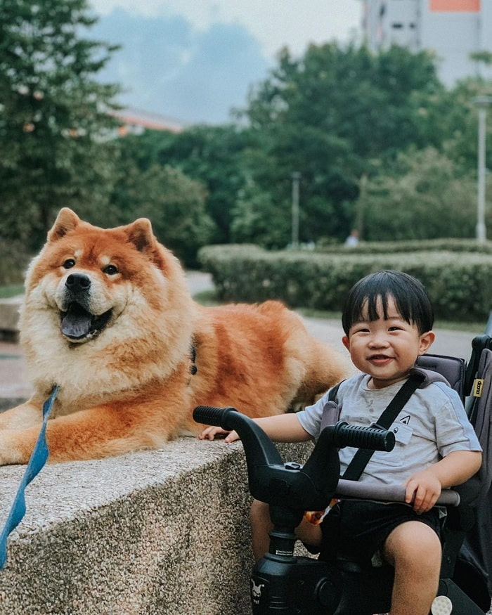 Chow Chow on a ride with a baby boy