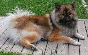 Chow Shepherd personality, temperament,and behavior