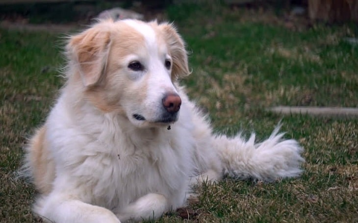 Collie Pyrenees personality, behavior, temperament