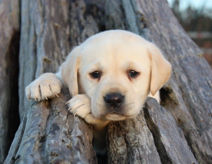 Cute Labrador Retriever puppy