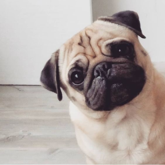 Cute Pug looking at the camera