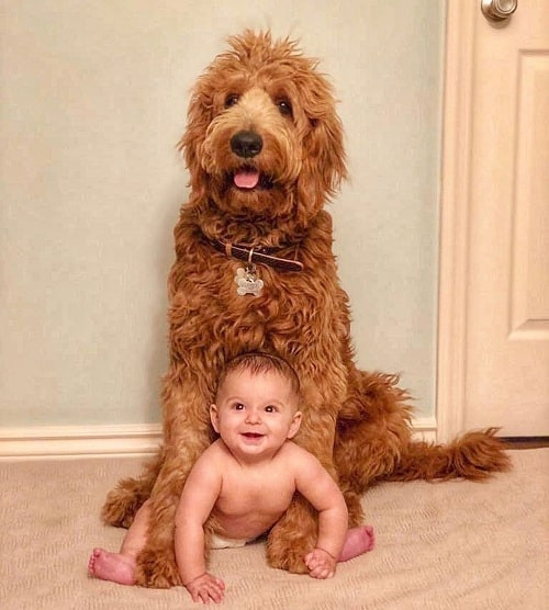 Cute baby posing for a photo with Sheepadoodle