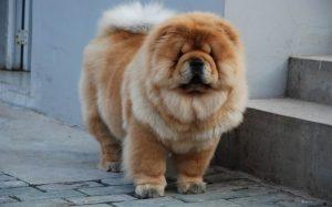 Cutest large-sized dog breeds