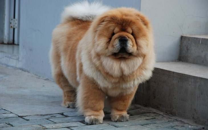Cutest large-sized dog breeds