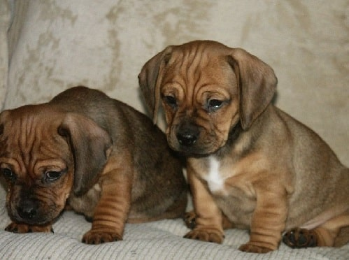 Daug puppies