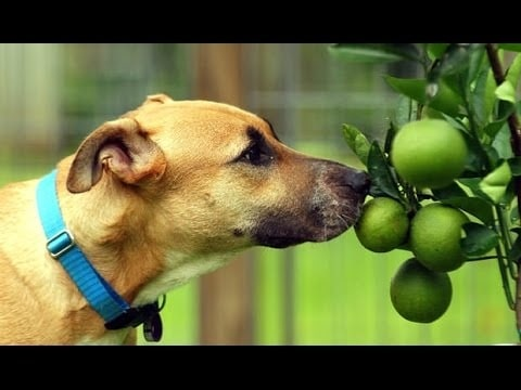 Dog smelling lime