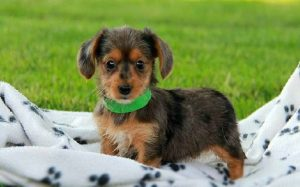 Dorkie temperament, personality, and behavior