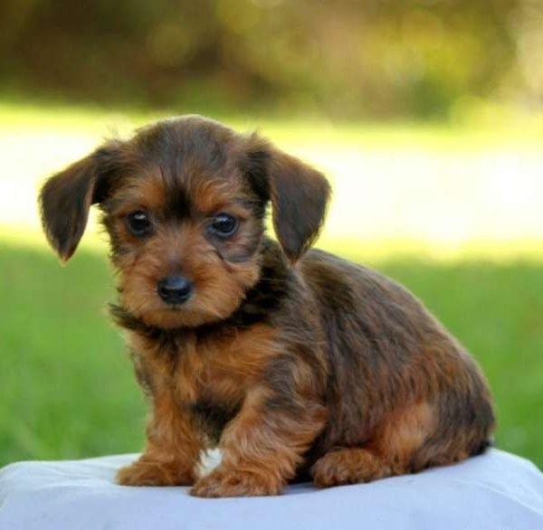 Dorkie puppy
