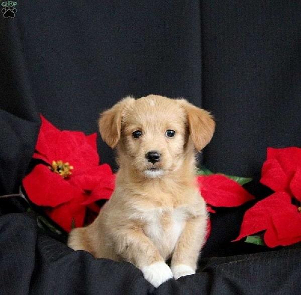 Eskipoo puppy