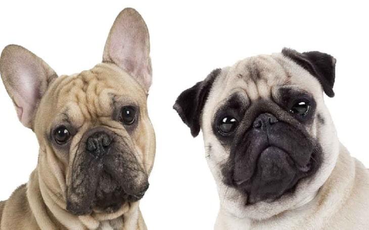 Frenchie Pug French Bulldog Mix