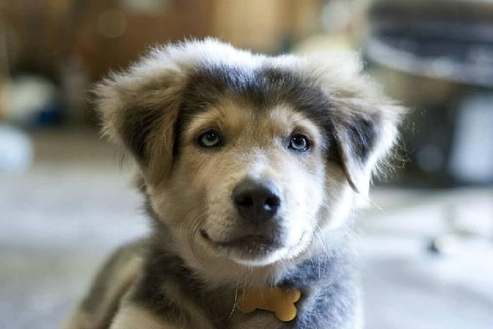 Goberian Puppy cost