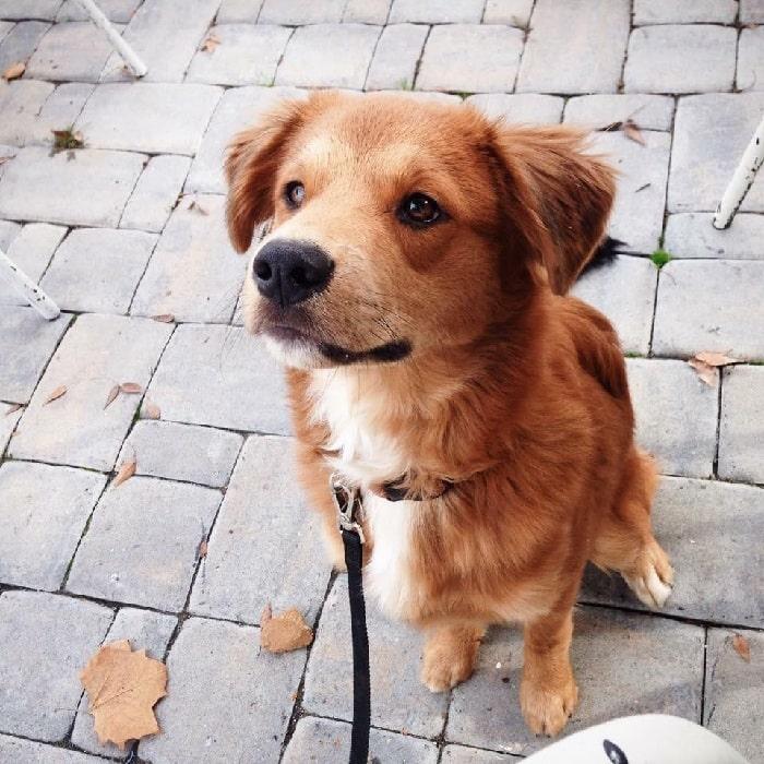 Golden Collie puppy