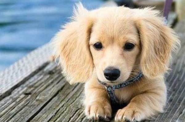 Golden Dox Puppy