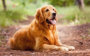 Golden Retriever personality, temperament, and behavior