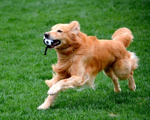 Golden Retriever playing with a toy