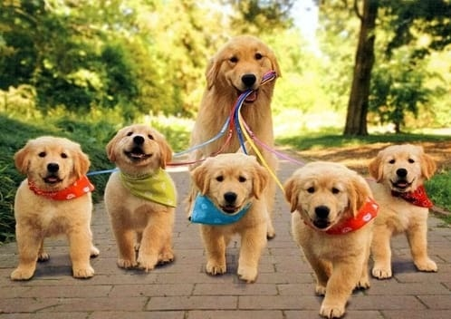 Golden Retriever walking its puppies on the leash