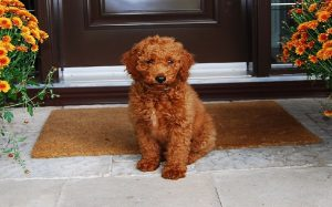 Goldenpoodle temperament, behavior, and personality