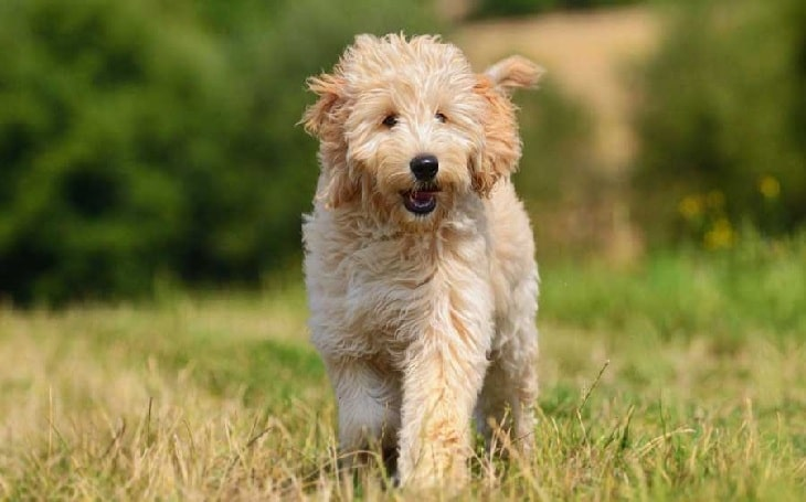 Goldendoodle temperament, behavior, and personality,