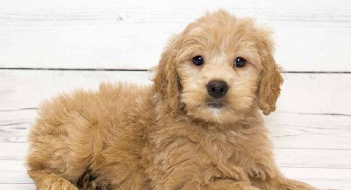 Goldenpoodle Puppy