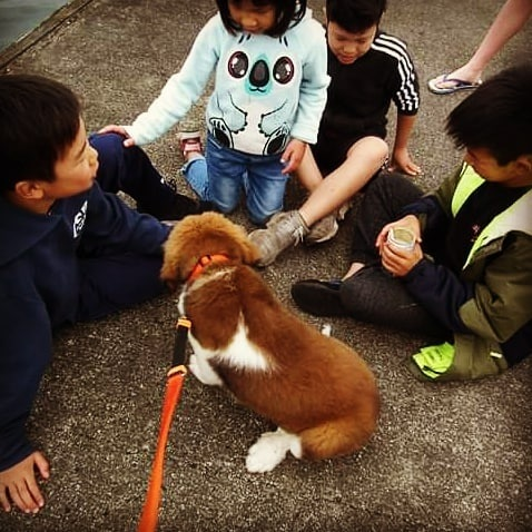 Great Bernese puppy playing with children