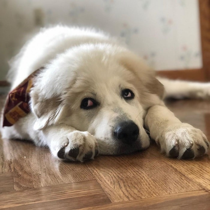 Great Pyrenees puppy laying on the floor