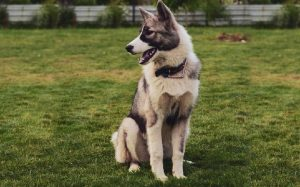 Huskita personality, behavior, temperament