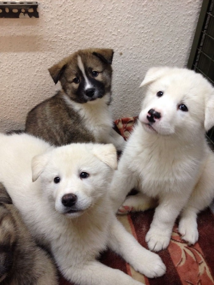 Huskita puppies