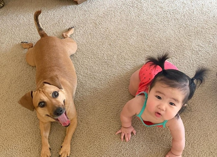 Jackshund and a baby girl crawling on the floor