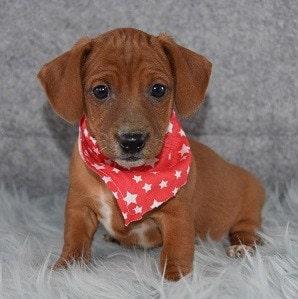 Jackshund puppy