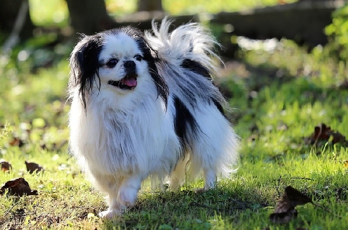 Japanese Chin walking on the field