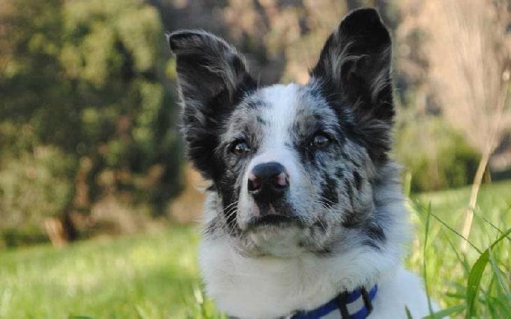 Koolie dog personality, temperament, and behavior