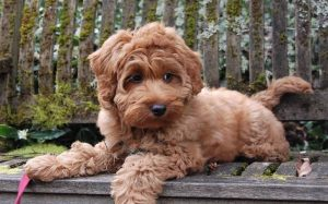 Labradoodle personality, behavior, and temperament
