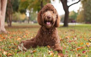 Labradoodle personality and temperment