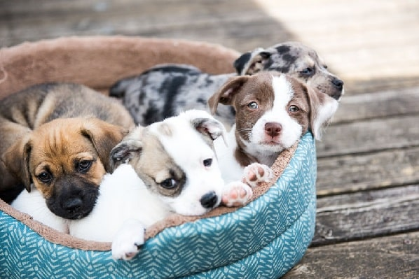 Mongrel Puppies in the basket