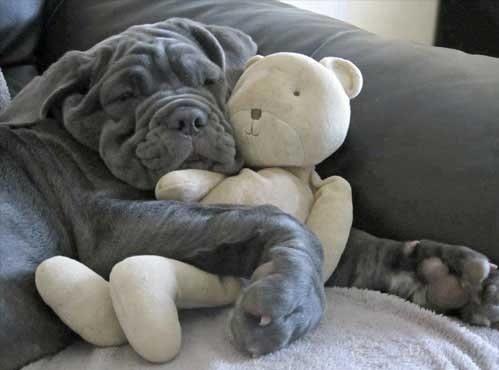 Neapolitian Mastiff hugging a teddy