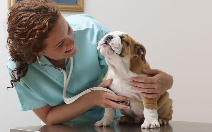 A vet examining a bulldog.