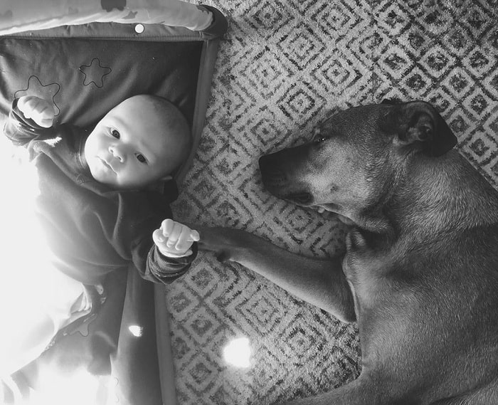 Pitweiler sleeping besides a baby