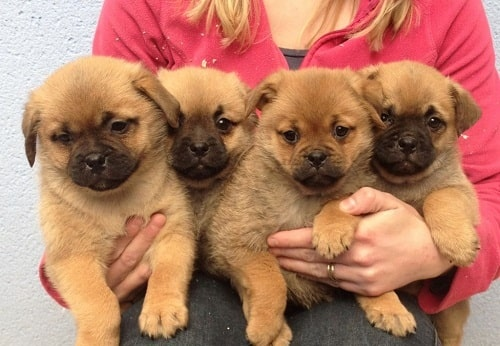 Pom-A-Pug puppies