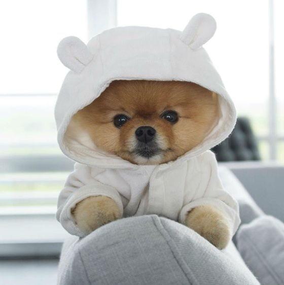 Pomeranian on a hoodie