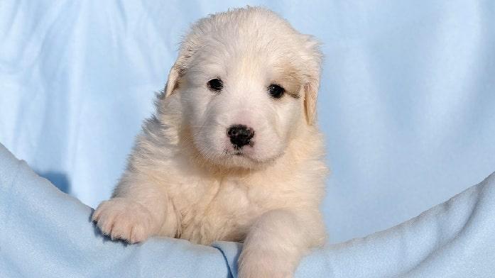 Pyrador puppy