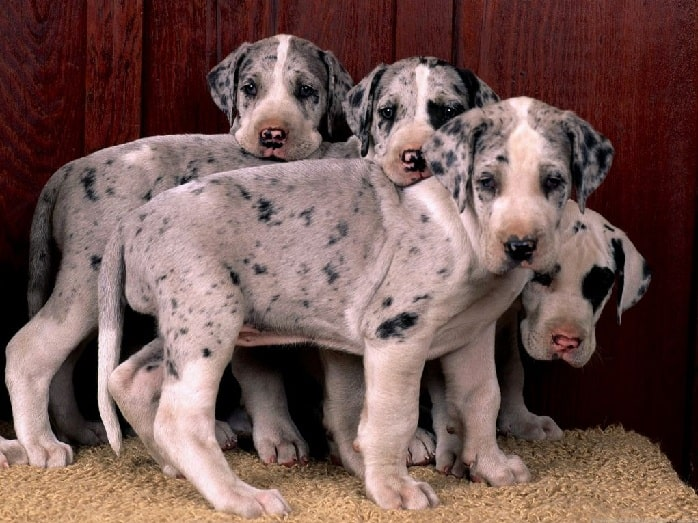 Saint Dane puppies
